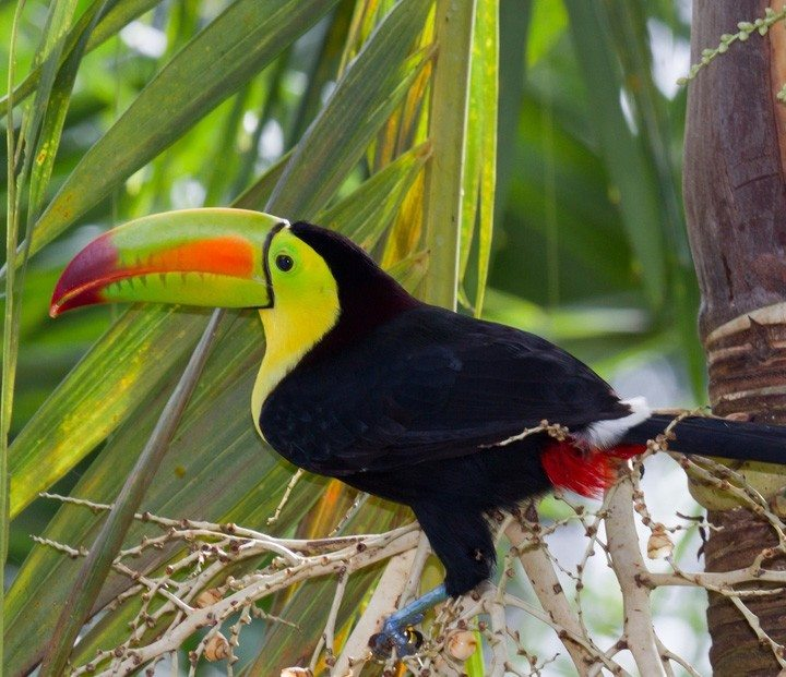 The Keel-Billed Toucan is the national bird of Belize.
